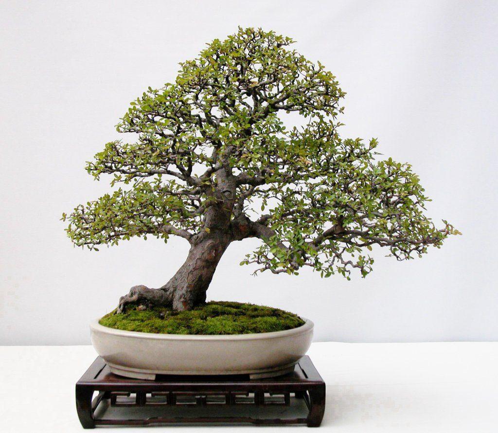 Fotos de bons i carmona im genes y fotos - Plantas para bonsai ...