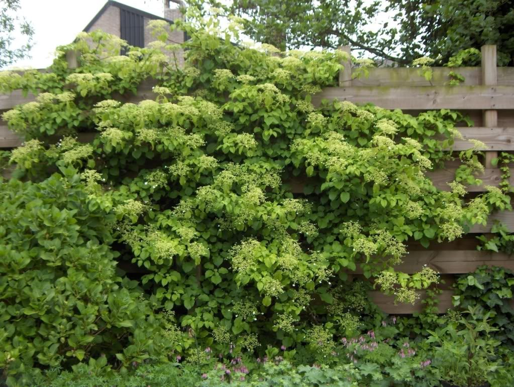 Image gallery trepadora - Plantas para vallas ...