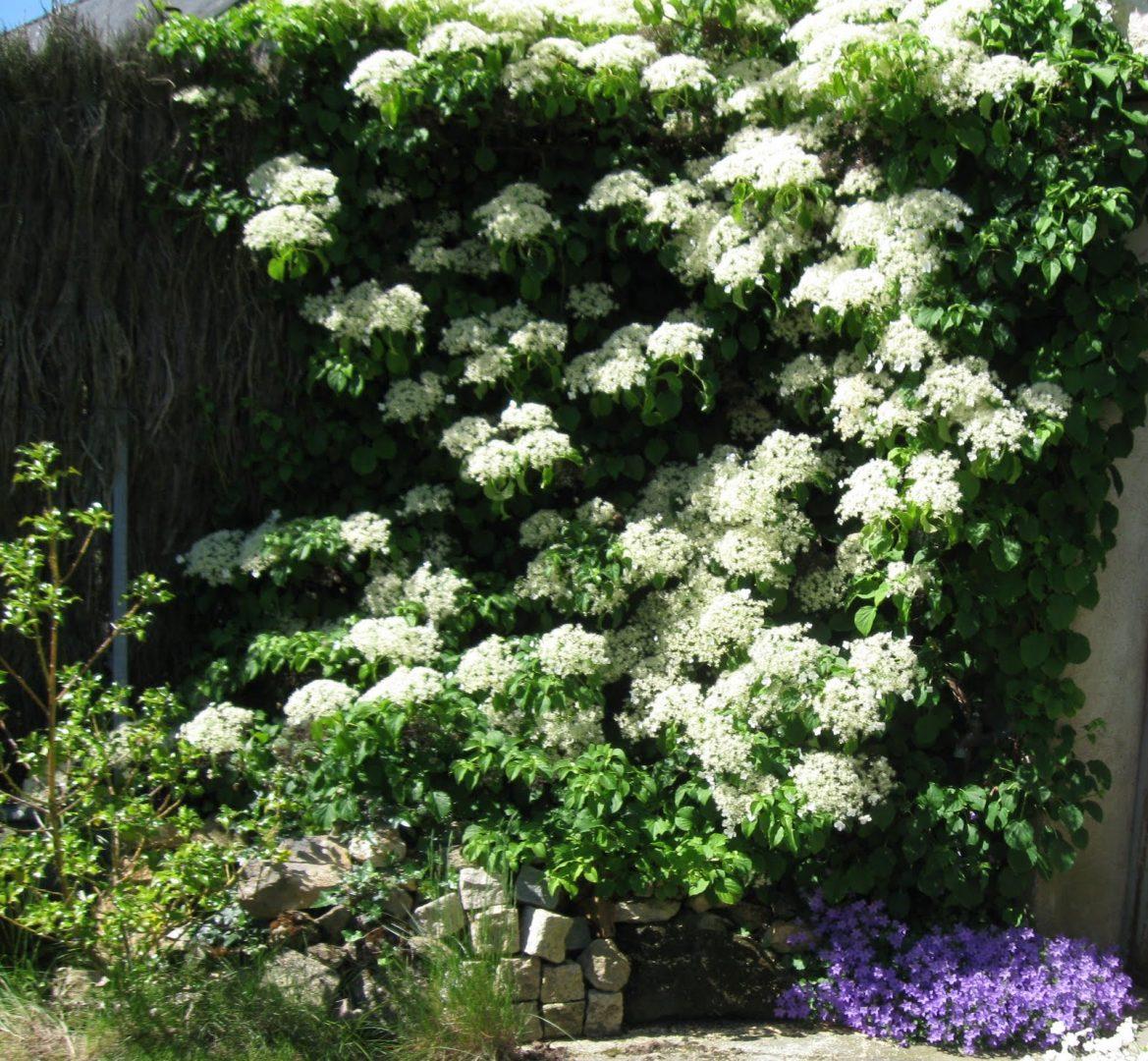 Planta hortensia trepadora im genes y fotos - Plantas trepadoras para pergolas ...